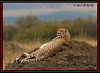 FEMALE CHEETAH (Acinonyx jubatus).....MASAI MARA....AUG 2008. (M Z Malik) Tags: nikon d200 80400f4556 kenya africa safari wildlife masaimara kws exoticafricanwildlife exoticafricancats flickrbigcats cheetah ngc npc
