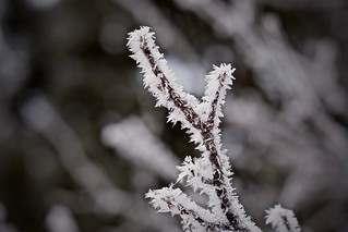 Arctic Blast with Hoarfrost and Fluffy Snowflakes