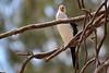 Little Pied Cormorant (DaveFlker) Tags: little pied cormorant horseshoe bend echuca wetlands lagoon