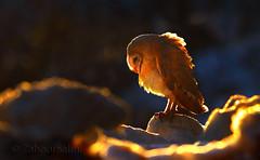 Barn Owl (Zahoor-Salmi) Tags: zahoorsalmi salmi wildlife pakistan wwf nature natural canon birds watch animals bbc flickr google discovery chanals tv lens camera 7d mark 2 beutty photo macro action walpapers bhalwal punjab