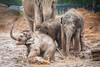 Playing In The Mud (jamesromanl17) Tags: animal animals zoo elephant chester nature canon eos 5d markiii playing mud muddy rain water splash splashing hay elephants running fun game family trunk