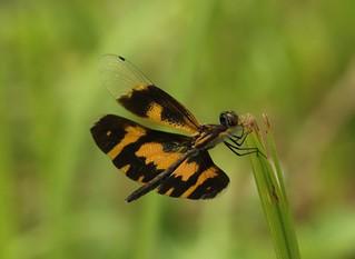 Variegated Flutterer (Rhyothemis variegata) Female