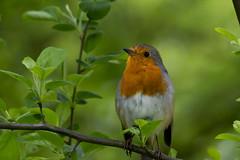 european robin (kalakeli) Tags: rotkehlchen birds vögel april 2017 europeanrobin robin green grün zoologicalgarden münsterzoo