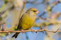 Greenfinch (Linda Martin Photography) Tags: carduelischloris birds blashfordlakes greenfinch wildlife hampshire uk nature