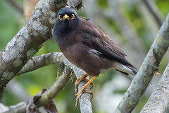 Common Myna Bird With Attitude (Barbara Evans 7) Tags: common myna bird assam ne india barbara evans7
