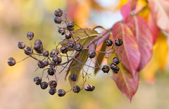 golden autumn (Steve Unlikely!) Tags: autumn buds fall leaves seeds tree crepemyrtleseedpods rockville md maryland