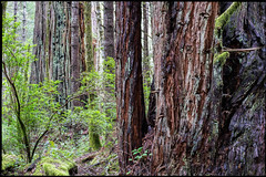 Into The Deep Within (greenschist) Tags: redwoods california humboldtredwoodsstatepark usa trees forest