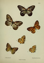 n286_w1150 (BioDivLibrary) Tags: india lepidoptera universitylibraryuniversityofillinoisurbanachampaign bhl:page=33082615 dc:identifier=httpsbiodiversitylibraryorgpage33082615 artist:name=fredericcmoore wikidata:item=q47069177 taxonomy:binomial=orinomadamaris taxonomy:binomial=rhaphiceramoorei taxonomy:binomial=rhaphicerasatricus butterflies