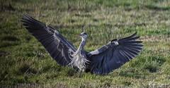 Ta Da (18Ningwood) Tags: isleofwight wildlife birds hersey