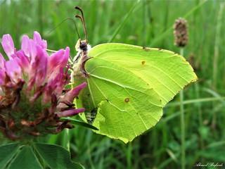 Butterfly 1532
