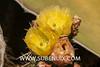 Opuntia engelmannii (SUBENUIX) Tags: cactaceaeopuntias opuntiaengelmannii suculentas subenuix subenuixcom planta suculent suculenta botanic botanical