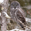 Great Gray Owl (jrlarson67) Tags: great gray grey owl raptor bird portrait wild wildlife nature saxzim sax zim bog minnesota