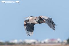 Great Blue Heron in Flight At Huntington Beach State Park (freshairphoto) Tags: wading great blue heron wings flight huntington beach state park myrtle south carolina artspearing nikon d500 200500 zoom handheld