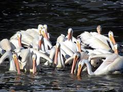 American White Pelicans (D-Stanley) Tags: pelican pelicans lockport manitoba canada