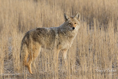 December 23, 2017 - A Coyote prowls Adams County. (Tony's Takes)