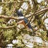 Belted Kingfisher (orencobirder) Tags: kingfishers largebirds birds flickrexport