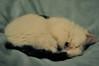 (bethstenhouse) Tags: cat cats kitten kittens british domestic sleep nap catnap tired snooze nikon 50mm