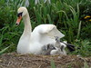 Swan and Cygnets (stuartcroy) Tags: orkney island swan swans cygnet nest