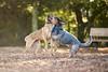 DSC07853 (Sebastopol Dog Park) Tags: 12102017 sebastopoldogpark samyang135mmf2 manualfocus catch chase ball fetch football arlendean dog dof openaperture f2 a7s