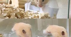 #Repost @hamu_mo . . こーんな所で眠気と戦っておられます 身体半分落ちてますそして眠くなるにつれてお目めがゴマ粒になる#キンクマ#キンクマハムスター#セーブル#長毛#ハムスター#hamster#はむすたぐらむ#ハムスタグラム#hamstergram#ふあもこ部#親バカ部#小動物#ペット#pet# (FluffWonderland) Tags: animals