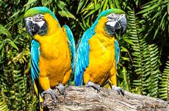 Macaw (Ara ararauna) (Joao de Barros) Tags: joão barros bird macaw