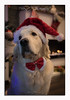 Magic Wishes (glank27) Tags: magic golden retriever christmas wishes dog cute karl glanville photography warm decorations wildlife canon eos 5d mk iv ef50mm f18ii