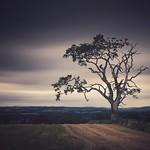 Tree, Muthill thumbnail
