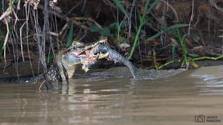 Jacaré-do-pantanal | Yacaré Negro