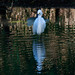 Snowy Egret Waiting