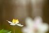 a wink to spring (de_frakke) Tags: spring flower bosanemoon anemone white wood