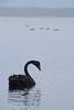 Black Swans (Photo Noir) Tags: swan swimmingwithswans blackswan camping nationalpark nativewildlife nativebirds waterbird myalllake myalllakesnationalpark familytravel
