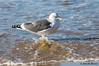 Washing my feet... (JOAO DE BARROS) Tags: joão barros seagull animal bird