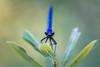 Agrion éclatant (jeff_006) Tags: nature closeup portrait bokeh summer été color couleur bleu blue libellule dragonfly agrionéclatant eye yeux aile wing feuille leaf vert green em5 omd olympus 40150f28