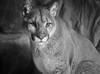 Puma (gspielmans) Tags: a6000 puma cougar zoo mnzoo