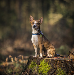 Meet Whiskey Explored 20-12-17 #116 (Paul`s dog photography) Tags: canon eos 5d mark iv ef135mm f2l usm jrt jack russell terrier woods woodland wide dof depth field