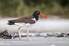 American Oystercatcher (Birds Of Amsterdam) Tags: american oystercatcher haematopus palliatus bird wildlife beach red bill scholekster vogel