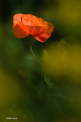 Coquelicot ... en attendant les beaux jours ! (didier95) Tags: coquelicot fleur fleurrouge rouge