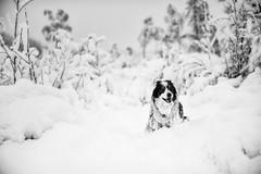 Snow Treat (svensl) Tags: border collie snow molly