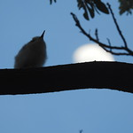 Silhouette of white tern chick thumbnail