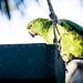 Yellow naped amazon parrot