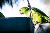 Yellow naped amazon parrot (wuestenigel) Tags: bird parrot amazon green yellownaped yellow tropical nature papagei vogel tropisch natur wildlife tierwelt noperson keineperson zoo bright hell animal tier parakeet sittich exotic exotisch outdoors drausen color farbe wild macaw ara feather feder wing flügel beak schnabel coloring färbung avian