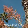 Nolina beldingii-4 (SUBENUIX) Tags: asparagaceae nolinabeldingii suculentas subenuix subenuixcom planta suculent suculenta botanic botanical