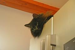 Peaceful nap (Caulker) Tags: fridge cat vaska evening nap