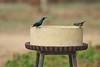 Big birdbath, small Sunbirds (David Lev) Tags: nirim mygarden birdbath bird sunbird