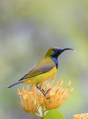 Olive-backed sunbird (Atrayos) Tags: bird birds birdwatch birdwatching photography singapore gardensbythebay olivebackedsunbird sunbird