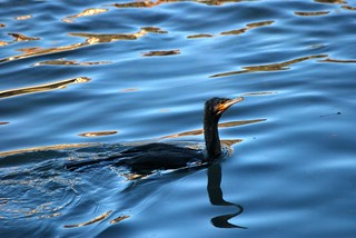 Cormorant enjoyng the winter solstice sunshine
