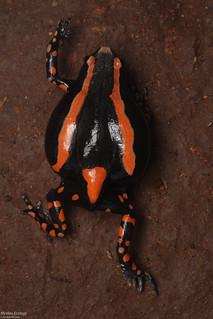 Phrynomantis bifasciatus - Banded Rubber Frog