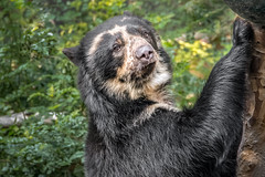 Don't Bother Me, I'm playing (helenehoffman) Tags: spectacledbear bear alba conservationstatusvulnerable mammal sandiegozoo carnivore ursidae southamerica tremarctosornatus andeanbear animal coth specanimal coth5