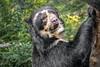 Don't Bother Me, I'm playing (helenehoffman) Tags: spectacledbear bear alba conservationstatusvulnerable mammal sandiegozoo carnivore ursidae southamerica tremarctosornatus andeanbear animal coth specanimal coth5