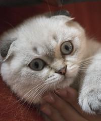 Pepe (Andrea Giuseppe Ercole) Tags: pepe andreaercole andreagiuseppeercole d750 gatto gattino cucciolo scottish scottishfold